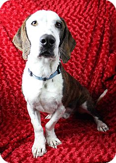 Hound (Unknown Type) Mix Dog for adoption in Westminster, Colorado - Tweed