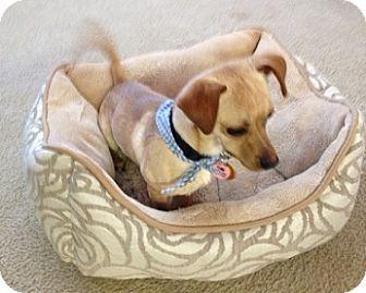 Chihuahua Dog for adoption in Schertz, Texas - C. B.