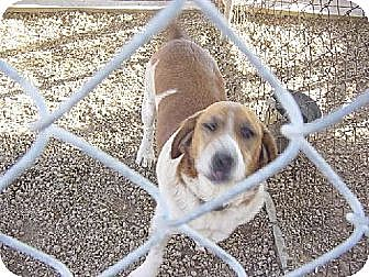 Hound (Unknown Type)/St. Bernard Mix Dog for adoption in Porter Ranch, California - Murry(BRN)