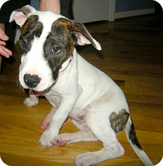 Pit Bull Terrier Mix Puppy for adoption in Cincinnati, Ohio - Rosie