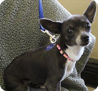 Chihuahua Dog for adoption in San Antonio, Texas - Skye