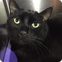 Adopt A Pet :: Bagheera - Canoga Park, CA