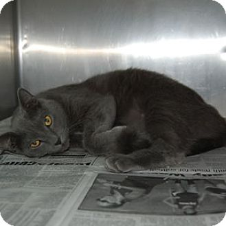 Russian Blue Cat for adoption in Corinth, Mississippi - Blue