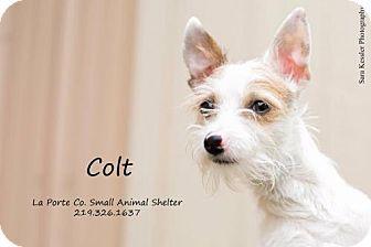 Terrier (Unknown Type, Medium) Puppy for adoption in La Porte, Indiana - Colt