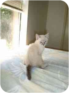 Domestic Shorthair Kitten for adoption in College Station, Texas - Hawk