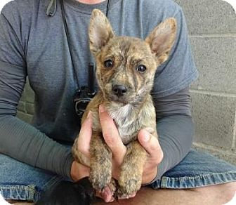 Terrier (Unknown Type, Small) Mix Puppy for adoption in Lathrop, California - Cheyenne