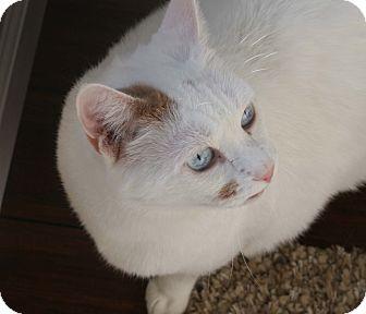 Turkish Van Cat for adoption in Walnut Creek, California - Big Boy