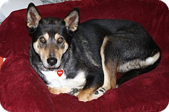 Cattle Dog/German Shepherd Dog Mix Dog for adoption in Los Angeles, California - Gwendolyn - Calm companion