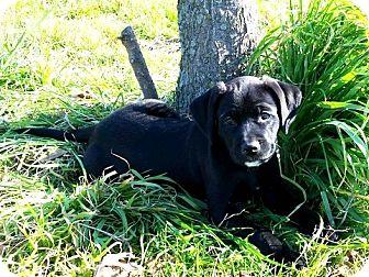 Golden Retriever/Labrador Retriever Mix Puppy for adoption in Dallas, Texas - JOY-15-078