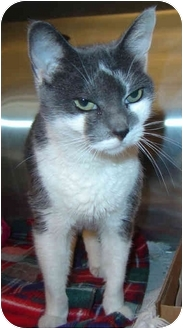 Domestic Shorthair Cat for adoption in Overland Park, Kansas - Kelsey