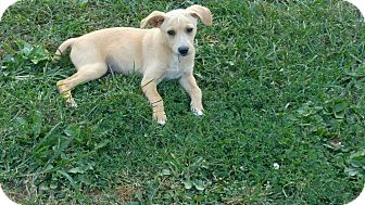 Chihuahua Mix Puppy for adoption in Ashville, Ohio - Louie