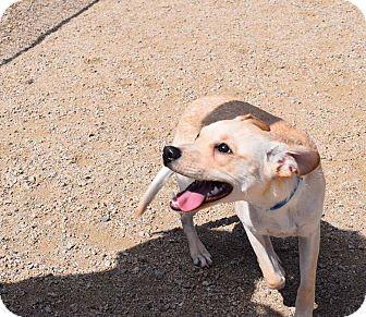Corgi/Chihuahua Mix Dog for adoption in Sierra Vista, Arizona - Quincy