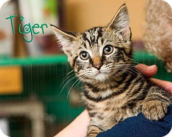Domestic Shorthair Kitten for adoption in Somerset, Pennsylvania - Tiger
