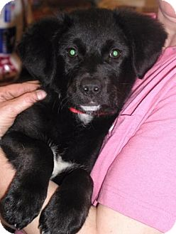 Labrador Retriever Mix Puppy for adoption in Palatine/Kildeer/Buffalo Grove, Illinois - Missy