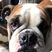 Adopt A Pet :: Viola Davis - Park Ridge, IL