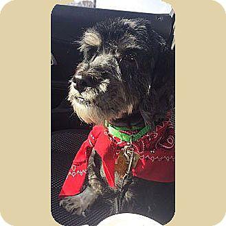 Miniature Schnauzer/Cocker Spaniel Mix Dog for adoption in Sharonville, Ohio - JAKE