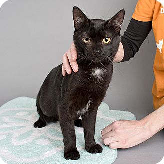 Domestic Shorthair Cat for adoption in Wilmington, Delaware - Johnny
