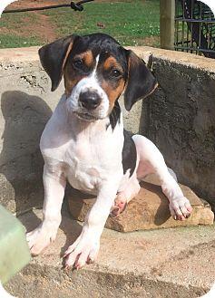 Beagle/Hound (Unknown Type) Mix Puppy for adoption in North Brunswick, New Jersey - Cowboy