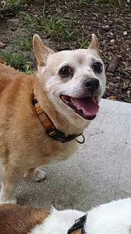 Chihuahua Dog for adoption in Fort Myers, Florida - Abbey