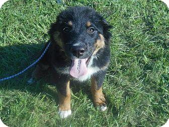 German Shepherd Dog/Australian Shepherd Mix Puppy for adoption in Allentown, New Jersey - Princess