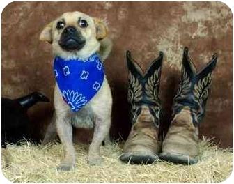 Pug/Dachshund Mix Dog for adoption in Fair Oaks Ranch, Texas - Kirby