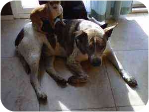 Australian Cattle Dog Mix Dog for adoption in Tujunga, California - Windle