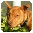 Photo 1 - Basenji/American Pit Bull Terrier Mix Puppy for adoption in El Segundo, California - Jamie