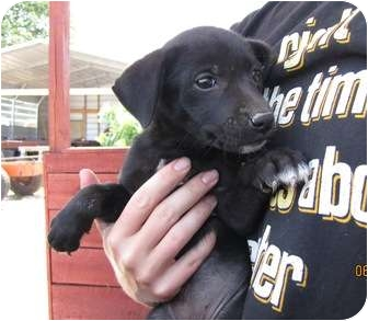 Feist/Australian Cattle Dog Mix Puppy for adoption in Lawrenceburg, Tennessee - Paula