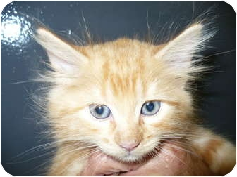 Domestic Longhair Kitten for adoption in Eastpoint, Florida - Creamcicle