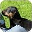 Photo 4 - Rottweiler Mix Puppy for adoption in Spring Valley, New York - Miss Piggy