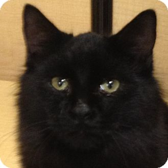 Domestic Mediumhair Cat for adoption in Weatherford, Texas - Smokey