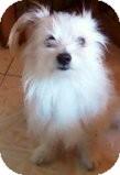 Havanese/Yorkie, Yorkshire Terrier Mix Dog for adoption in Naples, Florida - jake
