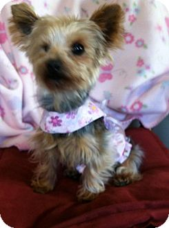 Yorkie, Yorkshire Terrier Mix Dog for adoption in Fremont, California - Lily