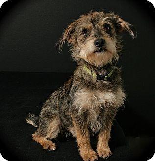 Schnauzer (Miniature) Mix Dog for adoption in Lufkin, Texas - Marcelette