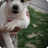 Adopt A Pet :: Olivia - Broomfield, CO