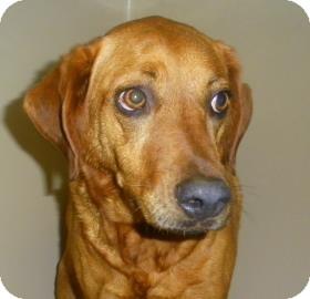 Golden Retriever/Vizsla Mix Dog for adoption in Lincolnton, North Carolina - Neena
