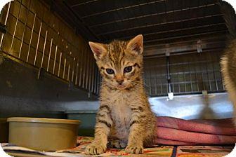 Domestic Shorthair Kitten for adoption in Broadway, New Jersey - Kittens!