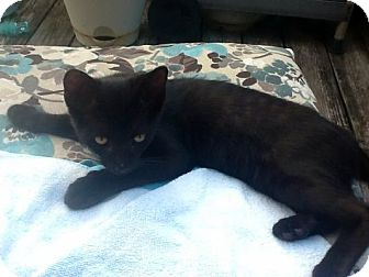 Domestic Shorthair Kitten for adoption in Pineville, North Carolina - Runt