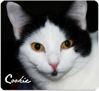 Domestic Shorthair Cat for adoption in McKinney, Texas - Cookie