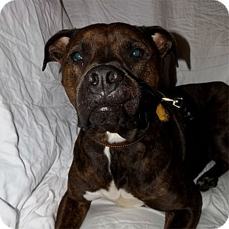 Pit Bull Terrier/Boxer Mix Dog for adoption in Lacey, Washington - Jake