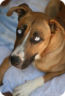 Great Dane Mix Dog for adoption in Studio City, California - Miss Frankie Blue