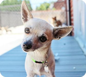 Chihuahua Dog for adoption in Atlanta, Georgia - Willy
