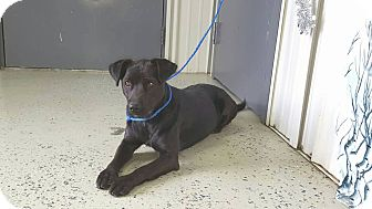 Terrier (Unknown Type, Medium)/Labrador Retriever Mix Dog for adoption in Greenville, Kentucky - Mary Ann
