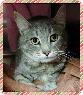 Domestic Shorthair Cat for adoption in Marietta, Georgia - ANGELICA - available 2/2