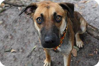 German Shepherd Dog Mix Dog for adoption in Voorhees, New Jersey - Phoenix