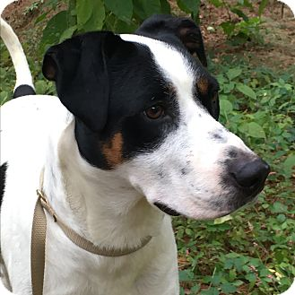 Labrador Retriever/Pointer Mix Dog for adoption in Harmony, Glocester, Rhode Island - Samson