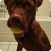 Adopt A Pet :: Cinnamon - Chicago, IL