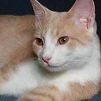 Domestic Shorthair Cat for adoption in Columbus, Ohio - Pinkie
