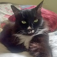 Domestic Longhair Cat for adoption in Springfield, Oregon - Boots
