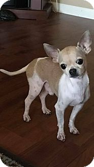 Chihuahua Dog for adoption in WAGONER, Oklahoma - Richie
